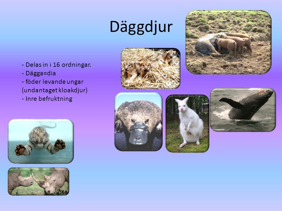 Däggdjur - Delas in i 16 ordningar. - Dägga=dia - föder levande ungar (undantaget kloakdjur) - Inre befruktning