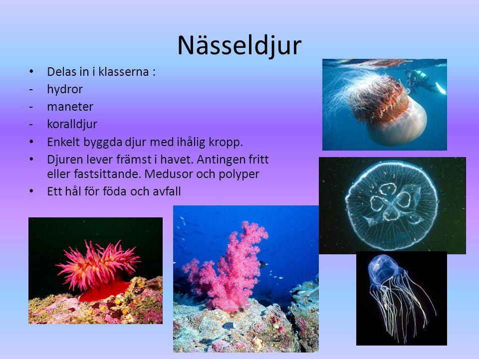 Nässeldjur • Delas in i klasserna : -hydror -maneter -koralldjur • Enkelt byggda djur med ihålig kropp.