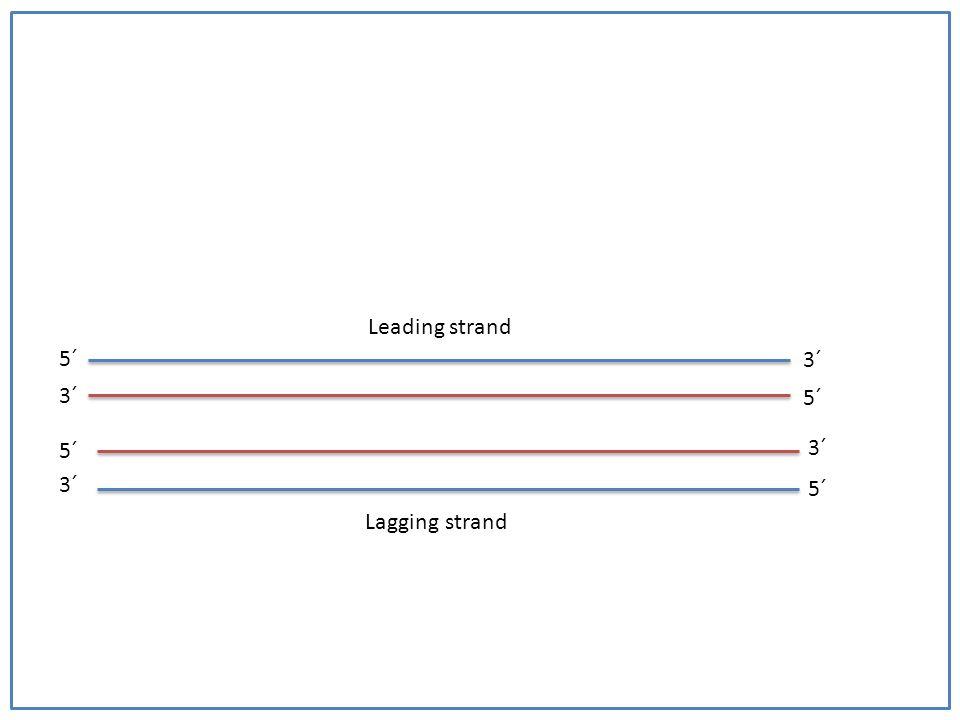 Leading strand Lagging strand 5´ 3´ 5´ 3´ 5´ 3´