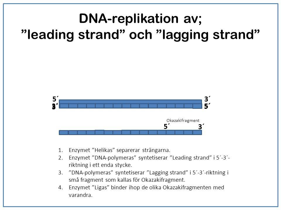 Syntesen av leading strand och lagging strand De båda strängarna är antiparallella med varandra: Där den ena strängen har sin 5'- ände där har den andra sin 3'-ände.