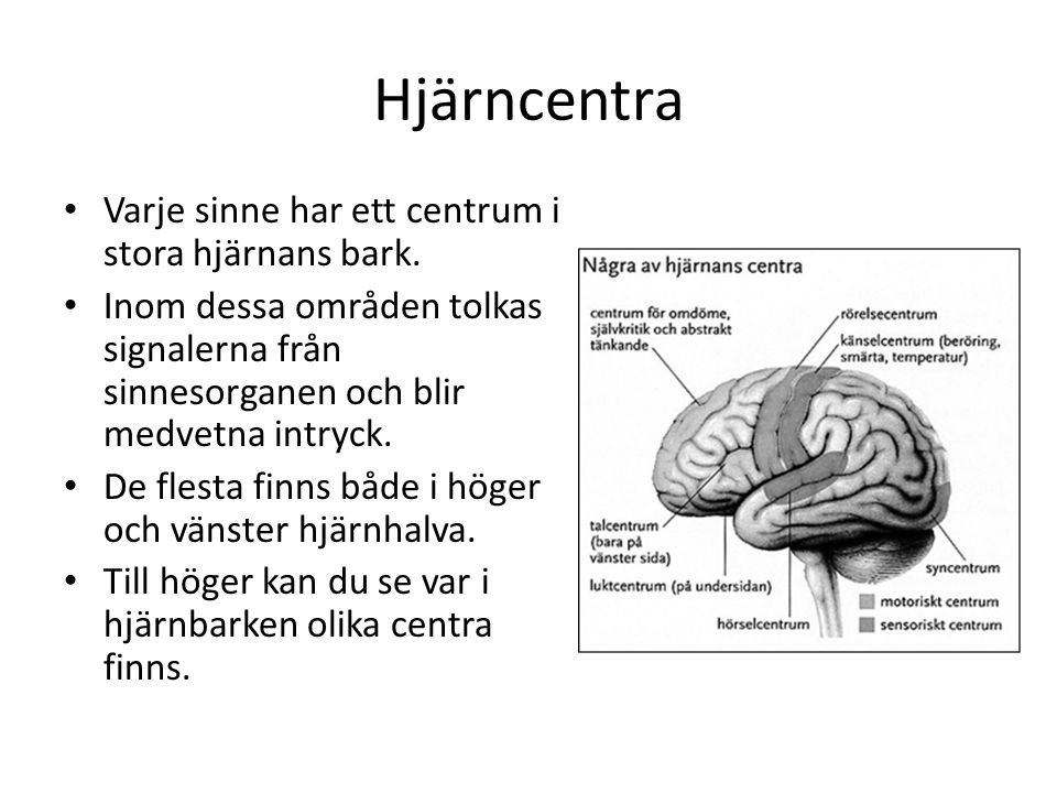 Hjärncentra • Varje sinne har ett centrum i stora hjärnans bark. • Inom dessa områden tolkas signalerna från sinnesorganen och blir medvetna intryck.