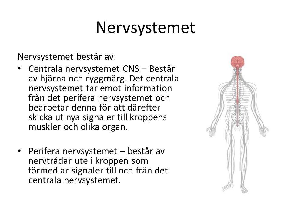 Nervsystemet Nervsystemet består av: • Centrala nervsystemet CNS – Består av hjärna och ryggmärg. Det centrala nervsystemet tar emot information från