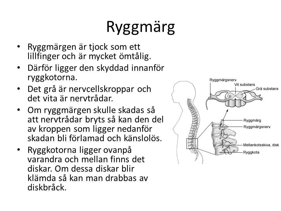 Ryggmärg • Ryggmärgen är tjock som ett lillfinger och är mycket ömtålig. • Därför ligger den skyddad innanför ryggkotorna. • Det grå är nervcellskropp