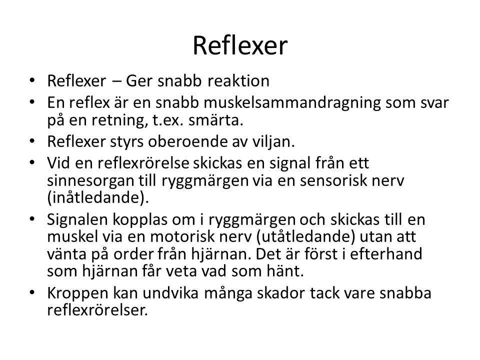 Reflexer • Reflexer – Ger snabb reaktion • En reflex är en snabb muskelsammandragning som svar på en retning, t.ex. smärta. • Reflexer styrs oberoende