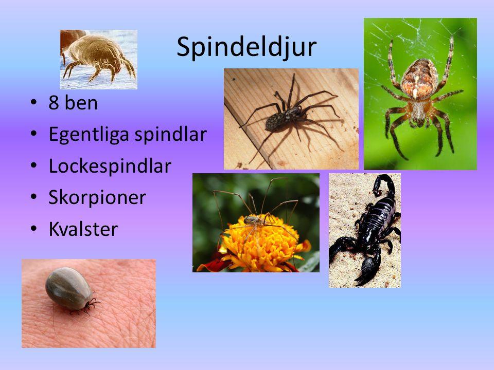 Spindeldjur • 8 ben • Egentliga spindlar • Lockespindlar • Skorpioner • Kvalster