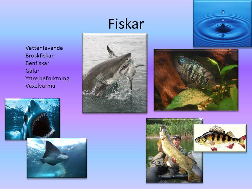 Fiskar Vattenlevande Broskfiskar Benfiskar Gälar Yttre befruktning Växelvarma