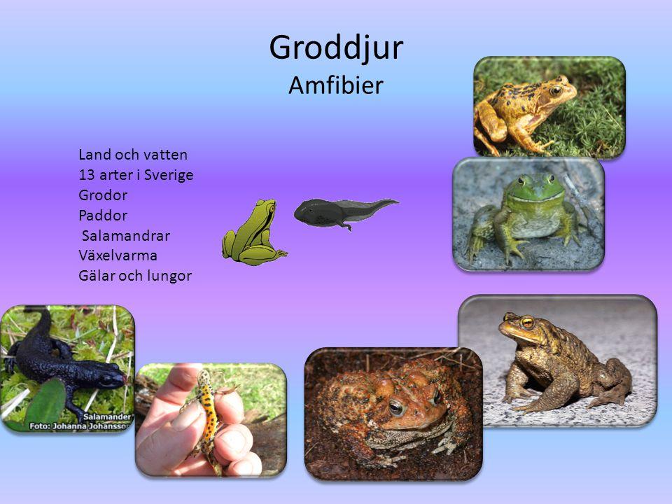 Groddjur Amfibier Land och vatten 13 arter i Sverige Grodor Paddor Salamandrar Växelvarma Gälar och lungor