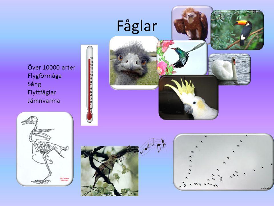 Fåglar Över 10000 arter Flygförmåga Sång Flyttfåglar Jämnvarma