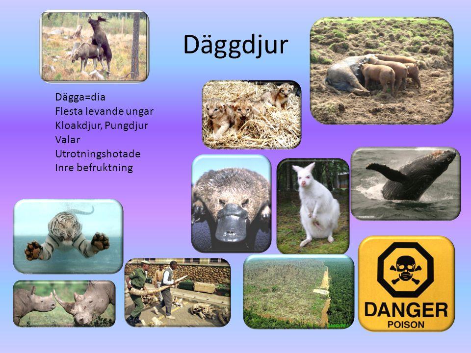 Däggdjur Dägga=dia Flesta levande ungar Kloakdjur, Pungdjur Valar Utrotningshotade Inre befruktning