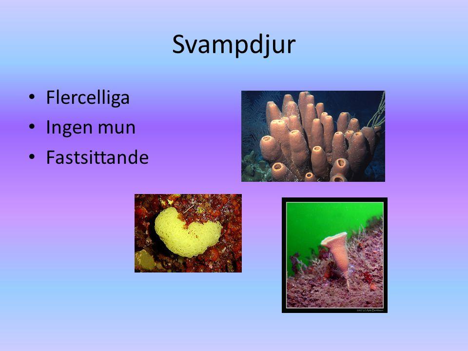 Svampdjur • Flercelliga • Ingen mun • Fastsittande