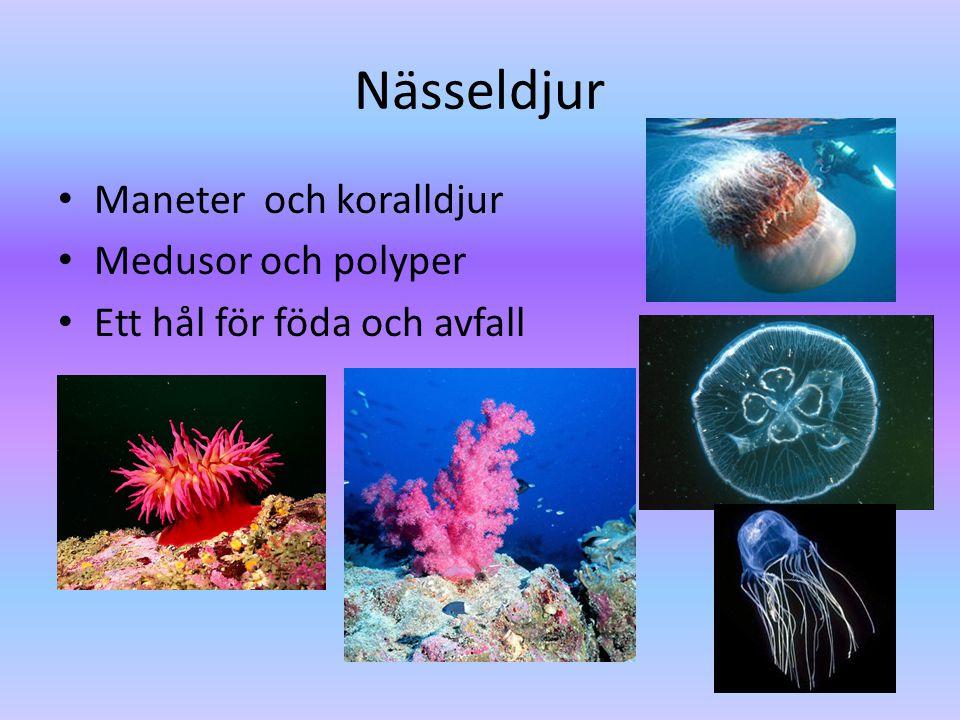 Nässeldjur • Maneter och koralldjur • Medusor och polyper • Ett hål för föda och avfall