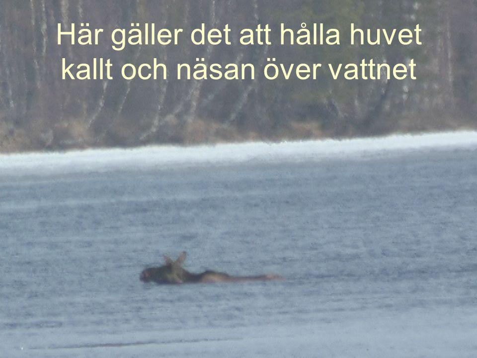 En historia berättad av älgen Kull: Så var man igång igen då, i årets Kullbergrännet, först ut som vanligt… Naturfotografen och filmaren Thord Åhman har tagit dessa bilder Bildspelet är skapat av Kurt Ulander