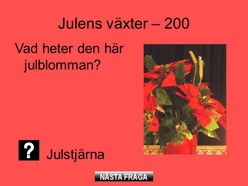 Julens växter – 200 Vad heter den här julblomman? Julstjärna