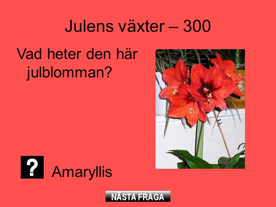 Julens växter – 300 Vad heter den här julblomman? Amaryllis