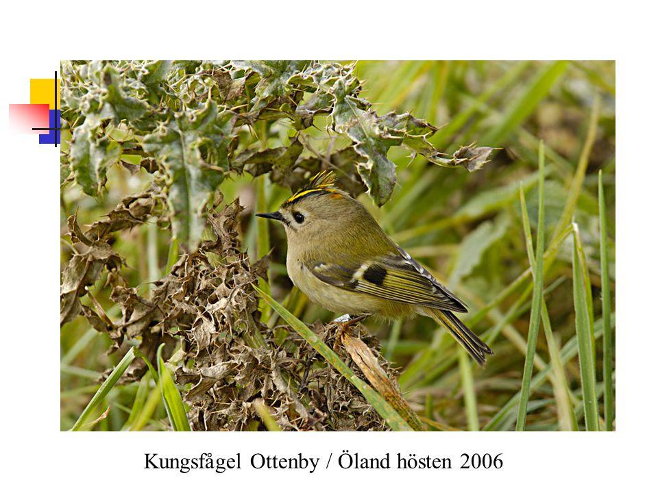 Kungsfågel Ottenby / Öland hösten 2006