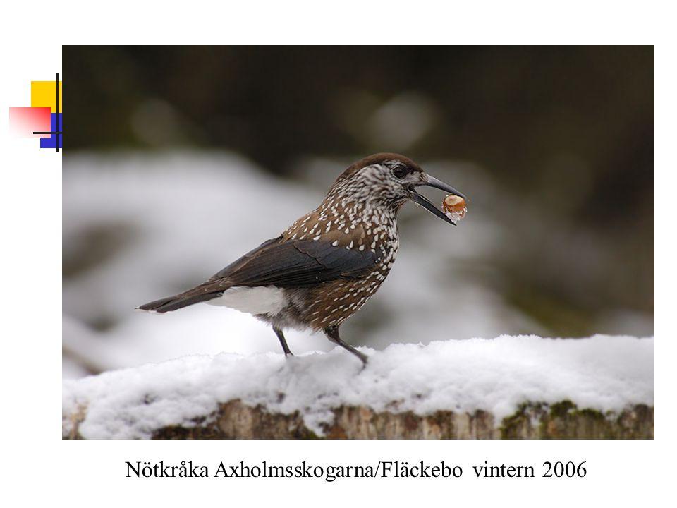 Nötkråka Axholmsskogarna/Fläckebo vintern 2006