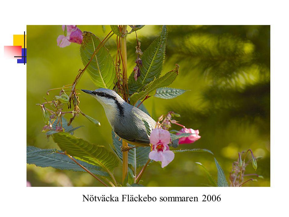 Nötväcka Fläckebo sommaren 2006