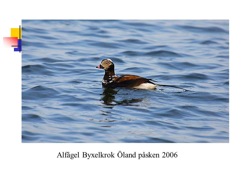 Alfågel Byxelkrok Öland påsken 2006