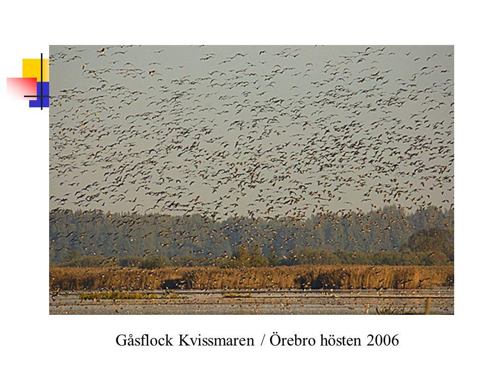 Gåsflock Kvissmaren / Örebro hösten 2006