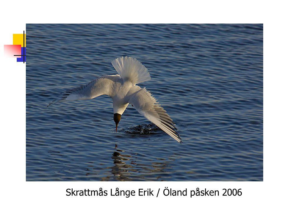 Skrattmås Långe Erik / Öland påsken 2006