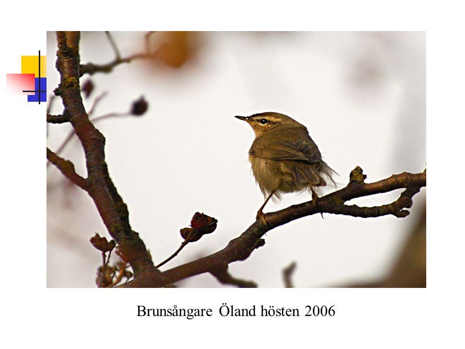 Brunsångare Öland hösten 2006