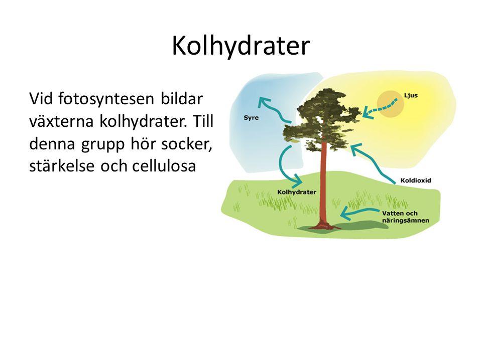 Kolhydrater Vid fotosyntesen bildar växterna kolhydrater. Till denna grupp hör socker, stärkelse och cellulosa
