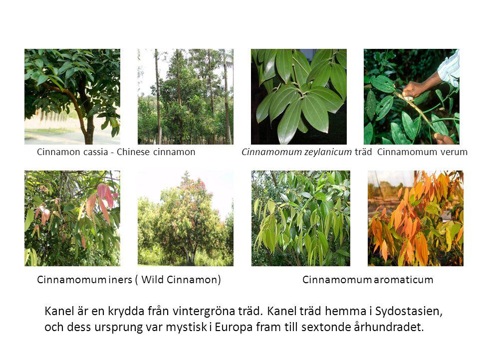 Cinnamomum zeylanicum träd Cinnamomum verum Cinnamomum aromaticum Cinnamon cassia - Chinese cinnamon Cinnamomum iners ( Wild Cinnamon) Kanel är en krydda från vintergröna träd.