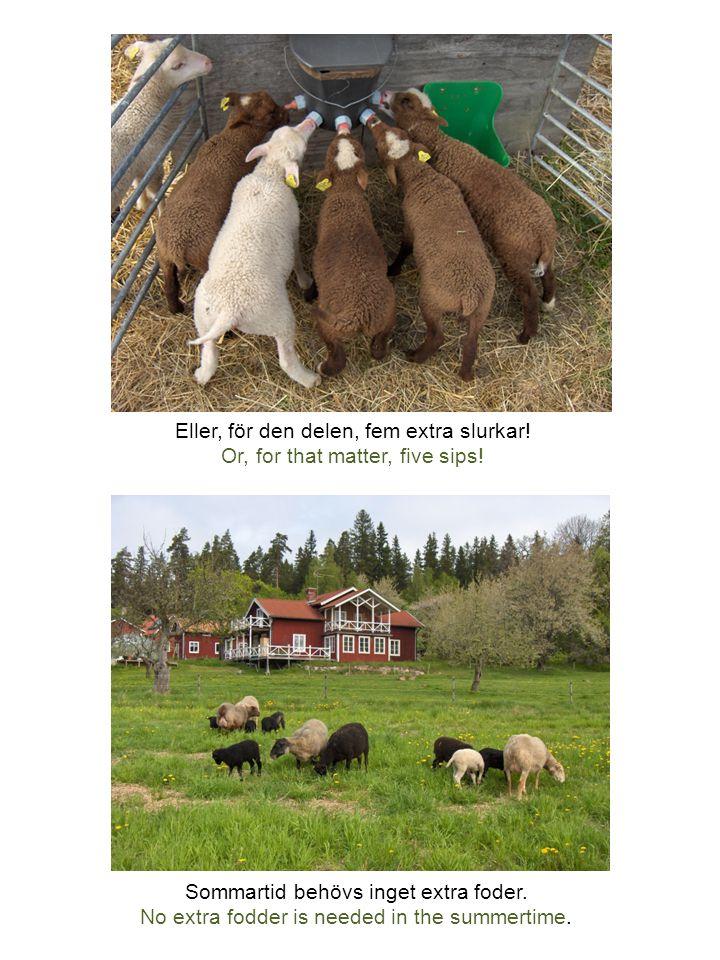 Fåren klipps två gånger om året av fårklippare Per Eriksson.