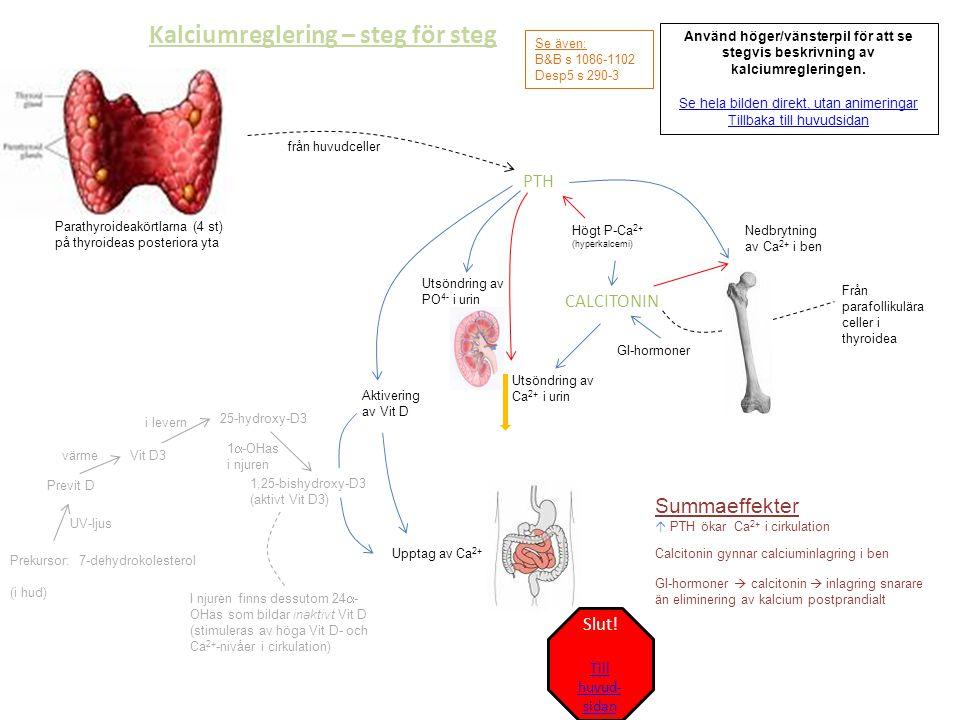 Kalciumreglering - komplett Till stegvis beskrivning Till huvudsidan Se även: B&B s 1086-1102 Desp5 s 290-3 Parathyroideakörtlarna (4 st) på thyroideas posteriora yta PTH Utsöndring av Ca 2+ i urin Nedbrytning av Ca 2+ i ben Aktivering av Vit D Upptag av Ca 2+ Prekursor: 7-dehydrokolesterol (i hud) 1,25-bishydroxy-D3 (aktivt Vit D3) Previt D UV-ljus Vit D3värme 25-hydroxy-D3 25-OHas i levern Summaeffekt  PTH ökar Ca 2+ i cirkulation Högt P-Ca 2+ (hyperkalcemi) från huvudceller CALCITONIN Calcitonin gynnar calciuminlagring i ben GI-hormoner GI-hormoner  calcitonin  inlagring snarare än eliminering av kalcium postprandialt Från parafollikulära celler i thyroidea 1  -OHas i njuren I njuren finns dessutom 24  - OHas som bildar inaktivt Vit D (stimuleras av höga Vit D- och Ca 2+ -nivåer i cirkulation) Utsöndring av PO 4- i urin
