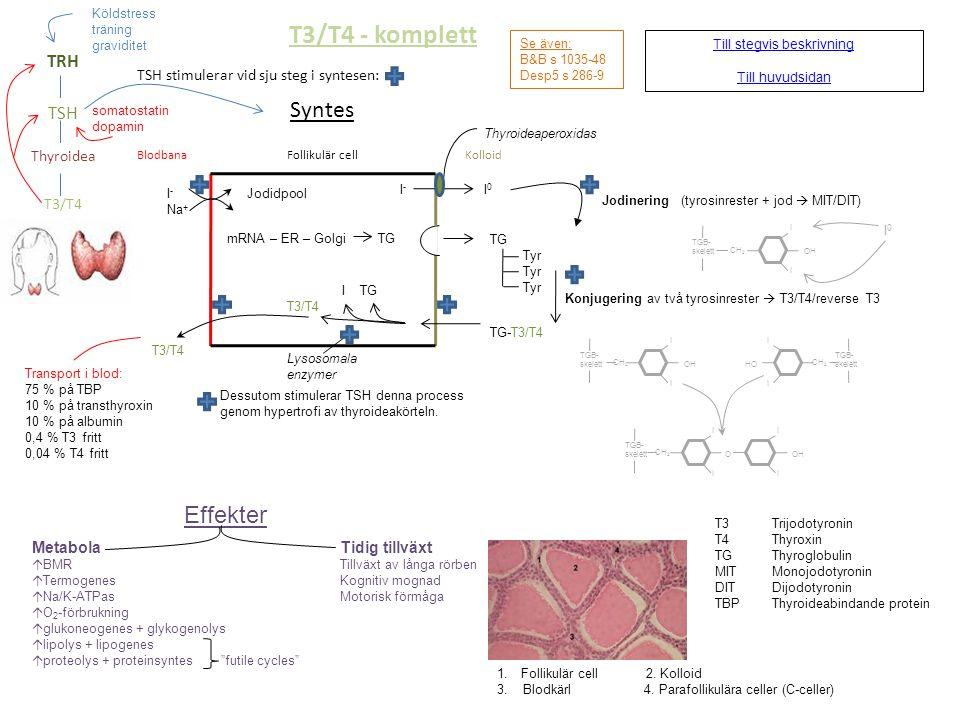 T3/T4 - komplett Syntes Blodbana Follikulär cell Kolloid TSH stimulerar vid sju steg i syntesen: Till stegvis beskrivning Till huvudsidan I - Jodidpoo