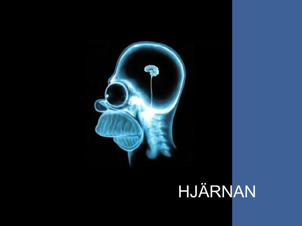 Hjärnans delar Hemisfärer Lober Pannloben, lobus frontalis Tinningloben, lobus temporalis Hjässloben, lobus parietalis Nackloben, lobus occipitalis Hjärnbarken Storhjärnan
