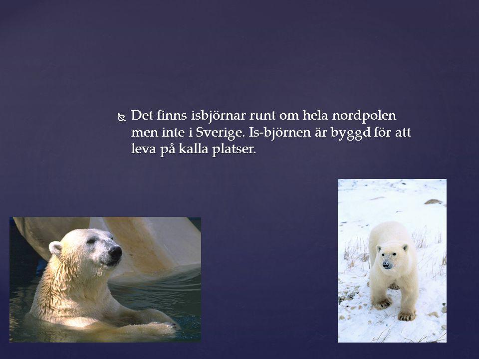 Det finns isbjörnar runt om hela nordpolen men inte i Sverige. Is-björnen är byggd för att leva på kalla platser. Isbjörnar