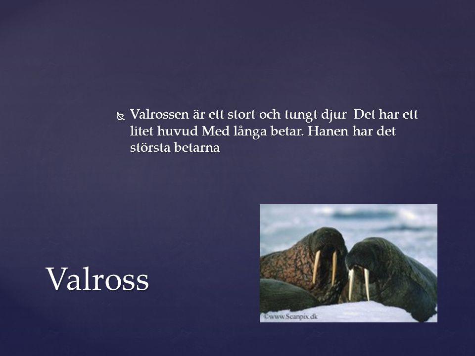  Valrossen är ett stort och tungt djur Det har ett litet huvud Med långa betar. Hanen har det största betarna Valross