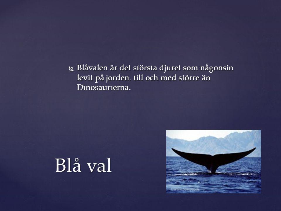  Blåvalen är det största djuret som någonsin levit på jorden. till och med större än Dinosaurierna. Blå val