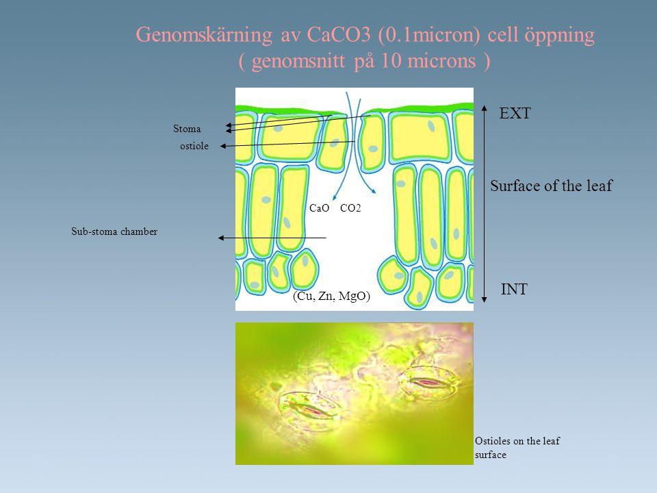 EFFEKT MED CO2 •Minskning av vatten bohovet: •CO2 laddad atmosfär på insidan av bladet startar en reaktion som stoppar avdunstning och vatten förlust •Höjning i photosynthesen (30%) •Inriktning på Rubisco enzymet mot photosynthesen •Minskning i photorespiration (photosynthetic och de ljuskänsliga aktiviteterna är två konkurrenskraftiga mekanismer som kontrolleras av Rubisco enzymet).