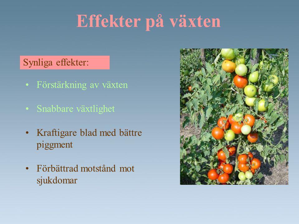 Minskat vattenbehov • minskning av vattenbehovet (upp till - 70%) • förbättrat motstånd mot hydric spänningen (brist på vatten) Paprika planta behandlad med LocaGreen.