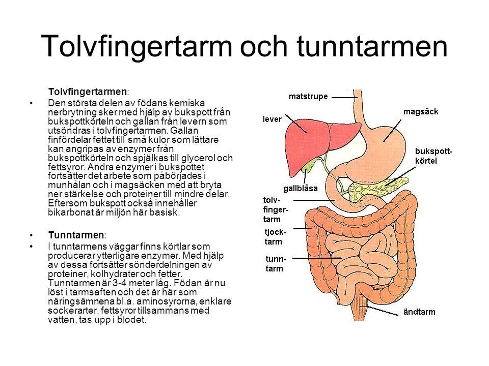 Tolvfingertarm och tunntarmen Tolvfingertarmen: •Den största delen av födans kemiska nerbrytning sker med hjälp av bukspott från bukspottkörteln och g