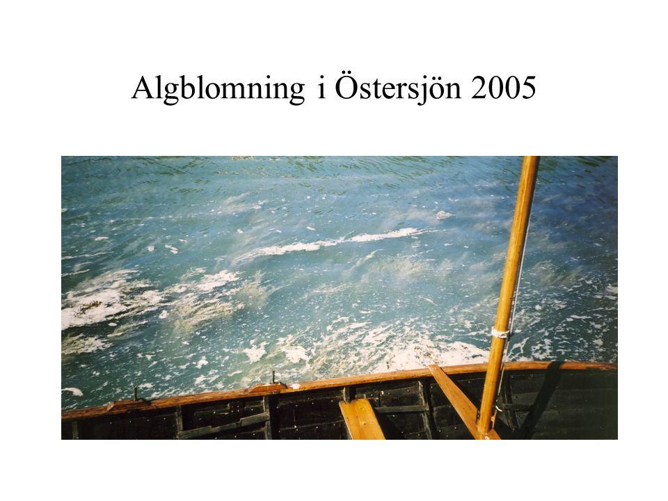 Algblomning i Östersjön 2005