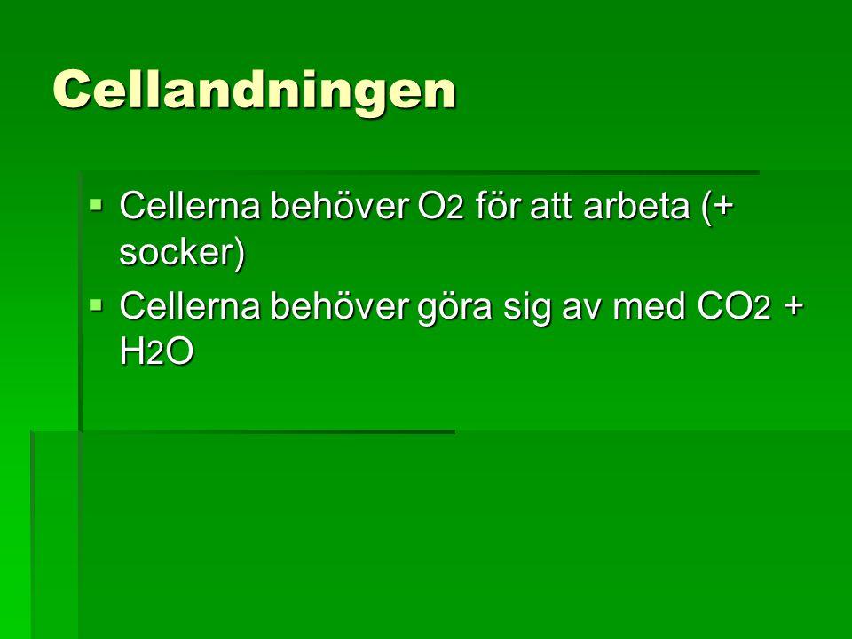 Cellandningen  Cellerna behöver O 2 för att arbeta (+ socker)  Cellerna behöver göra sig av med CO 2 + H 2 O