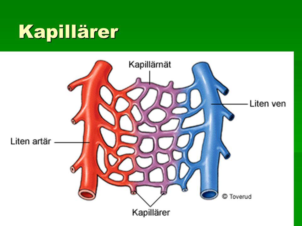 Kapillärer