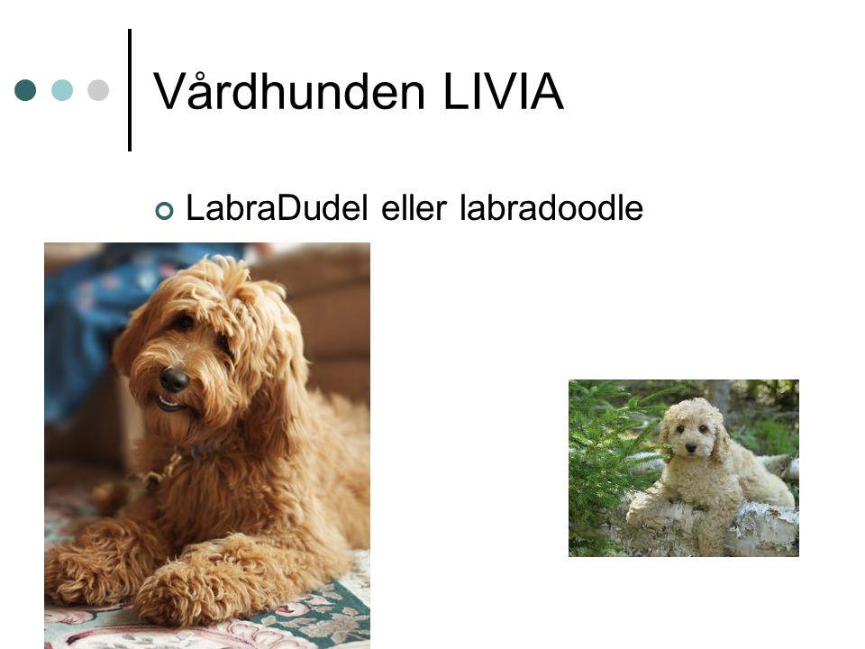 Vårdhunden LIVIA LabraDudel eller labradoodle