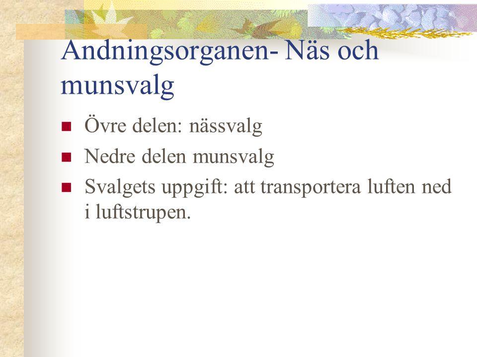 Andningsorganen- Näs och munsvalg  Övre delen: nässvalg  Nedre delen munsvalg  Svalgets uppgift: att transportera luften ned i luftstrupen.
