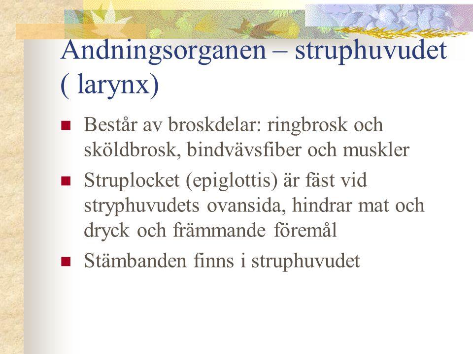 Andningsorganen – struphuvudet ( larynx)  Består av broskdelar: ringbrosk och sköldbrosk, bindvävsfiber och muskler  Struplocket (epiglottis) är fäs