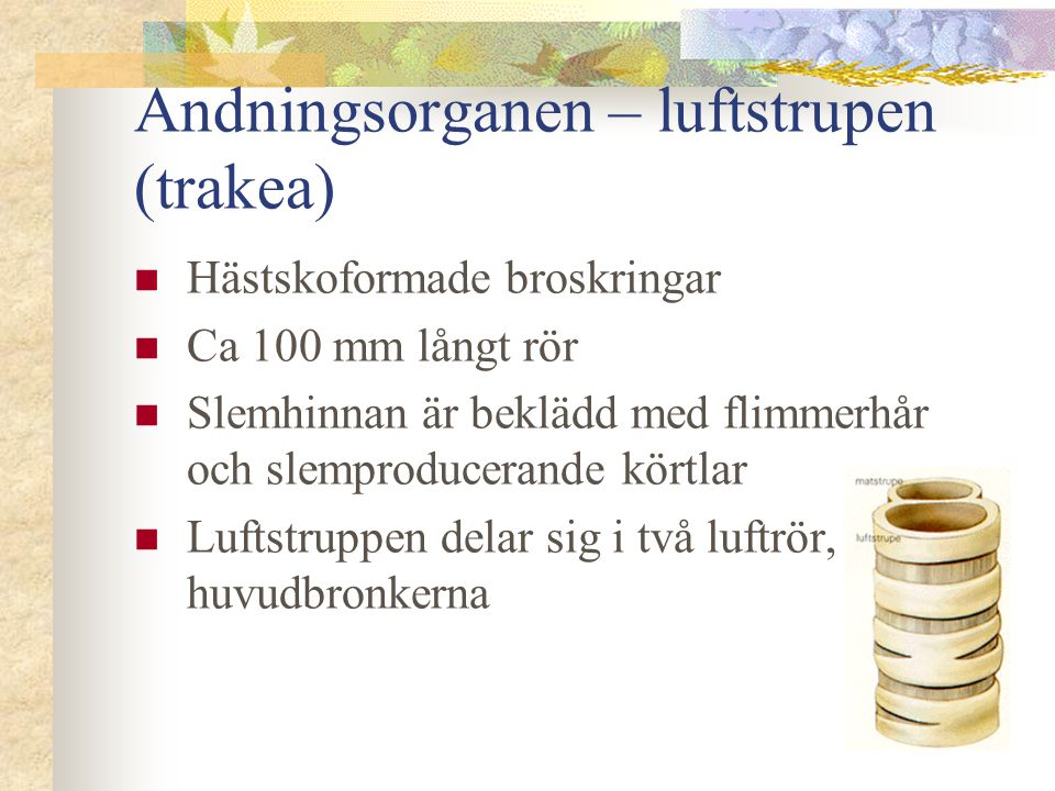Andningsorganen – Luftrör (bronker)  Bronkerna är uppbyggda av broskringar.