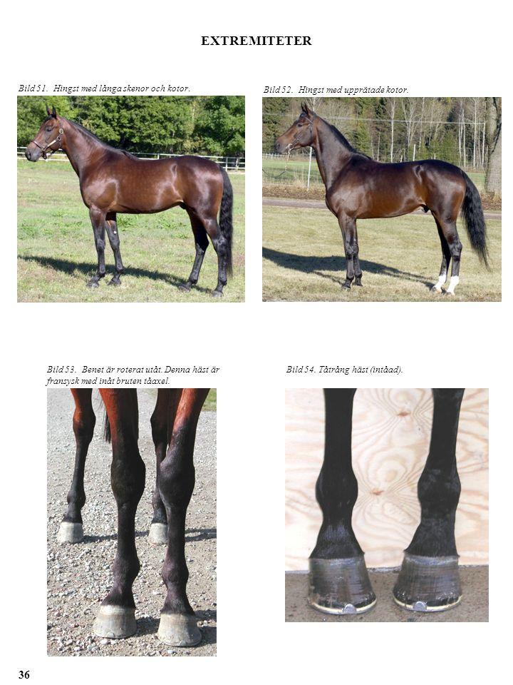 EXTREMITETER Bild 53. Benet är roterat utåt. Denna häst är fransysk med inåt bruten tåaxel. Bild 54. Tåtrång häst (intåad). Bild 51. Hingst med långa
