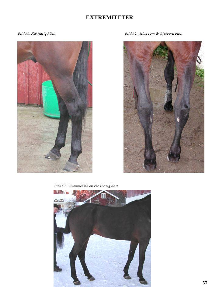 Bild 55. Rakhasig häst.Bild 56. Häst som är hjulbent bak. EXTREMITETER 37 Bild 57. Exempel på en krokhasig häst.