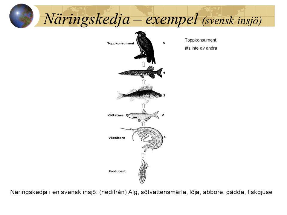 Näringskedja – exempel (svensk insjö) Näringskedja i en svensk insjö: (nedifrån) Alg, sötvattensmärla, löja, abbore, gädda, fiskgjuse Toppkonsument, ä