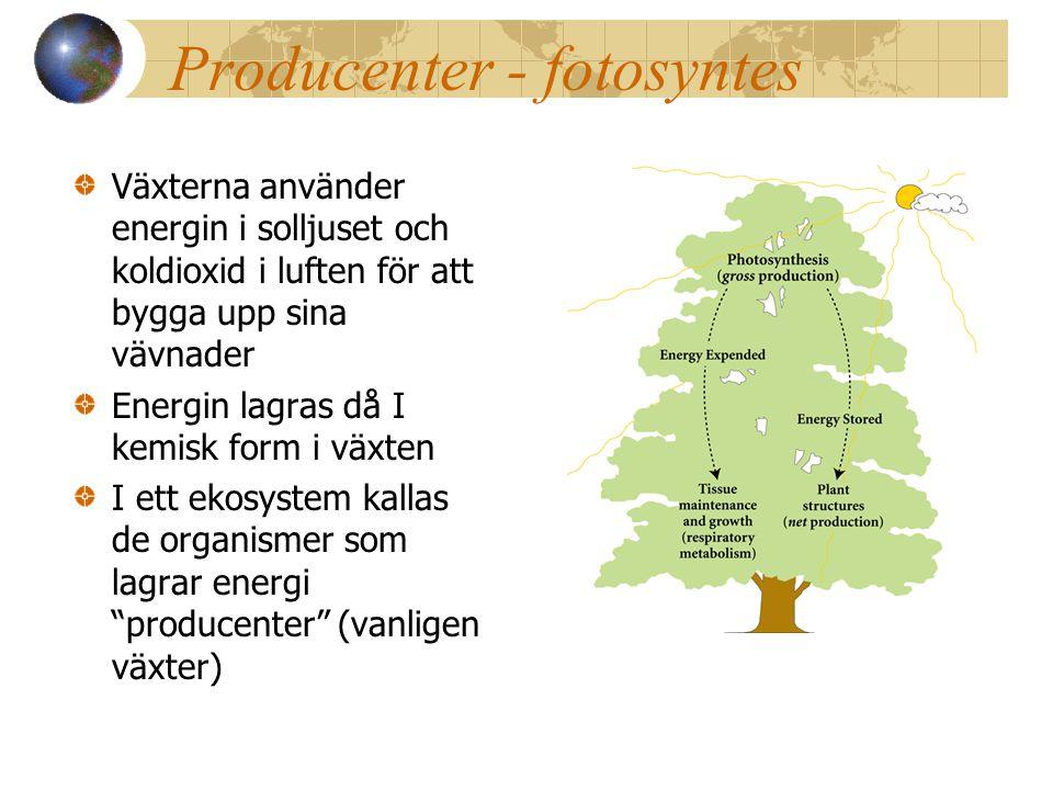 Producenter - fotosyntes Växterna använder energin i solljuset och koldioxid i luften för att bygga upp sina vävnader Energin lagras då I kemisk form