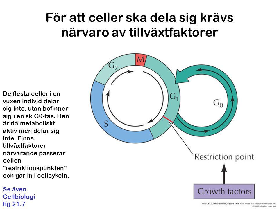 För att celler ska dela sig krävs närvaro av tillväxtfaktorer De flesta celler i en vuxen individ delar sig inte, utan befinner sig i en sk G0-fas.