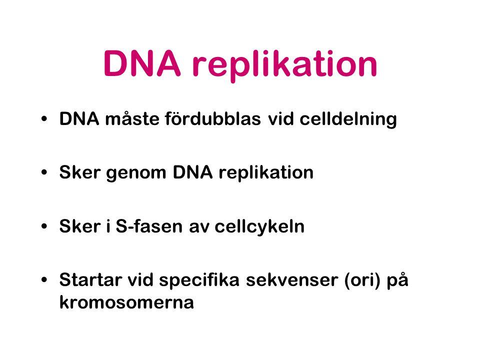 DNA replikation •DNA måste fördubblas vid celldelning •Sker genom DNA replikation •Sker i S-fasen av cellcykeln •Startar vid specifika sekvenser (ori) på kromosomerna